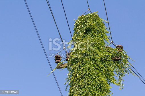 istock Wild grapes growing on a support of transmission line 979693570