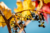 Wild grapes in the blue sky background