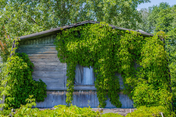 Wild grapes woe the facade of an old abandoned house The wooden facade of an old abandoned house, covered with wild ornamental grapes on a sunny day. parthenocissus plant stock pictures, royalty-free photos & images