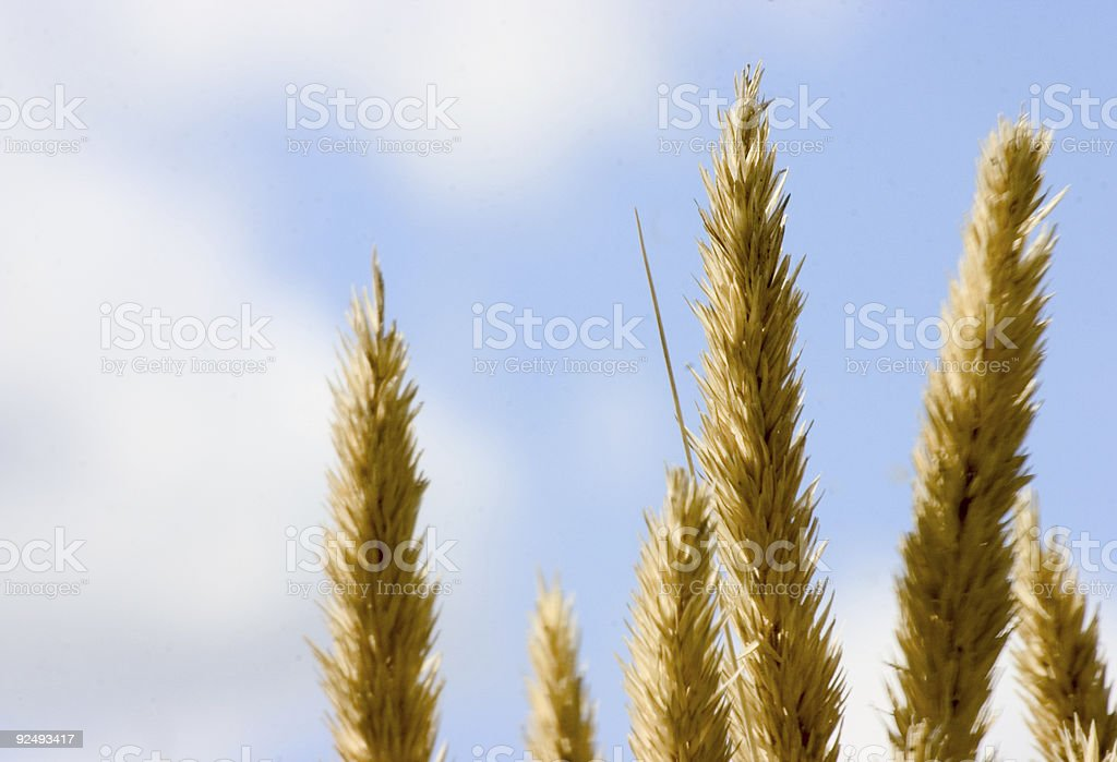 Wild grass 2 royalty-free stock photo
