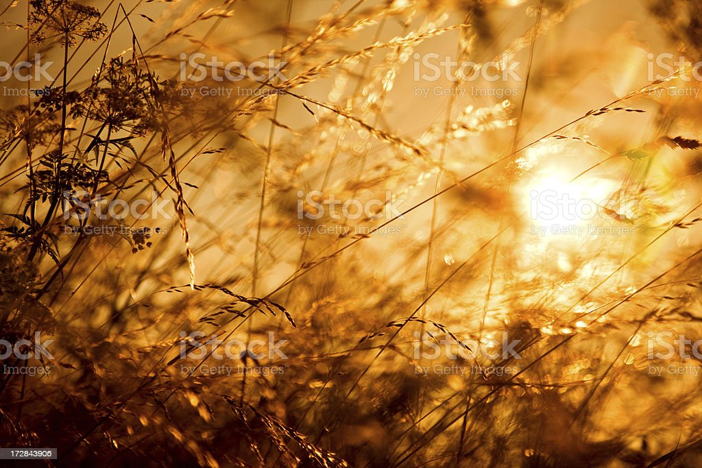 wild grass at sunset royalty-free stock photo