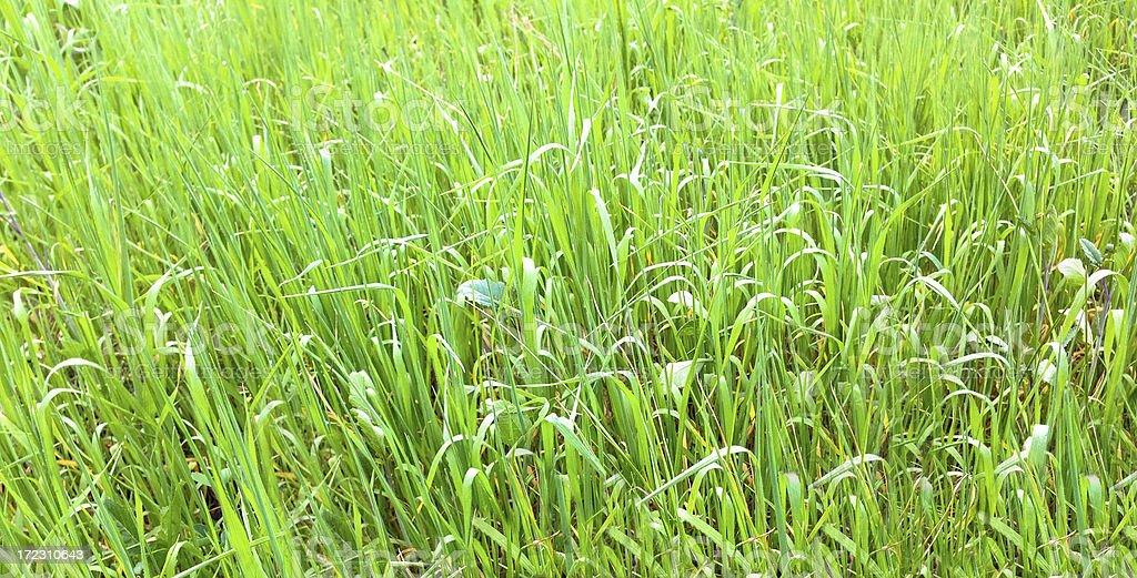 wild grass background royalty-free stock photo
