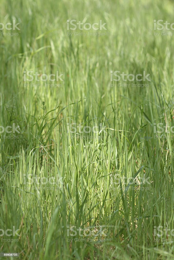 Wild grass background royalty-free stock photo