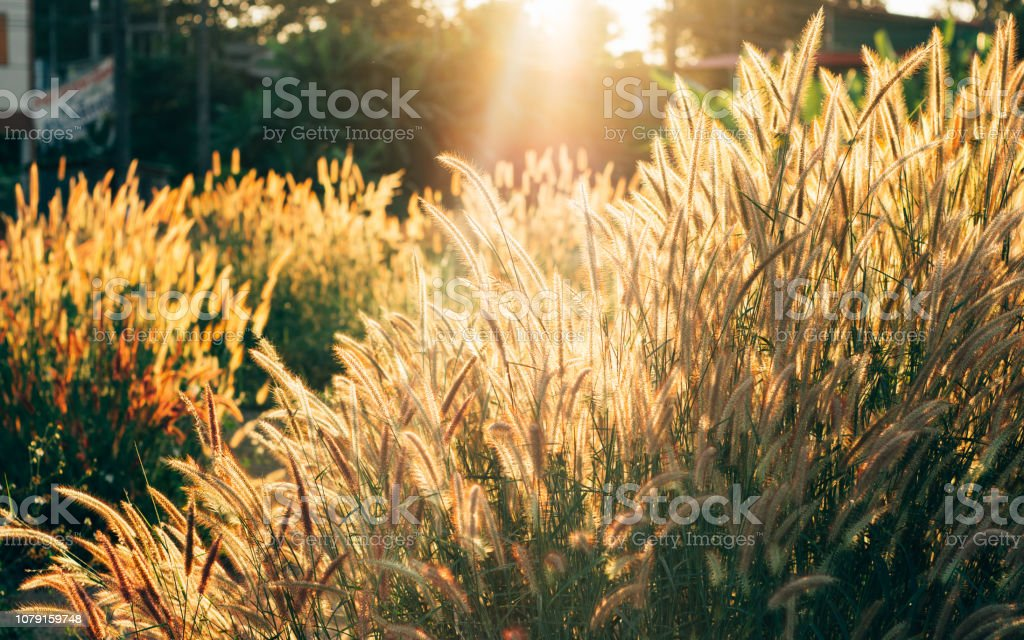 Wild grass  flowers in a field at sunset stock photo