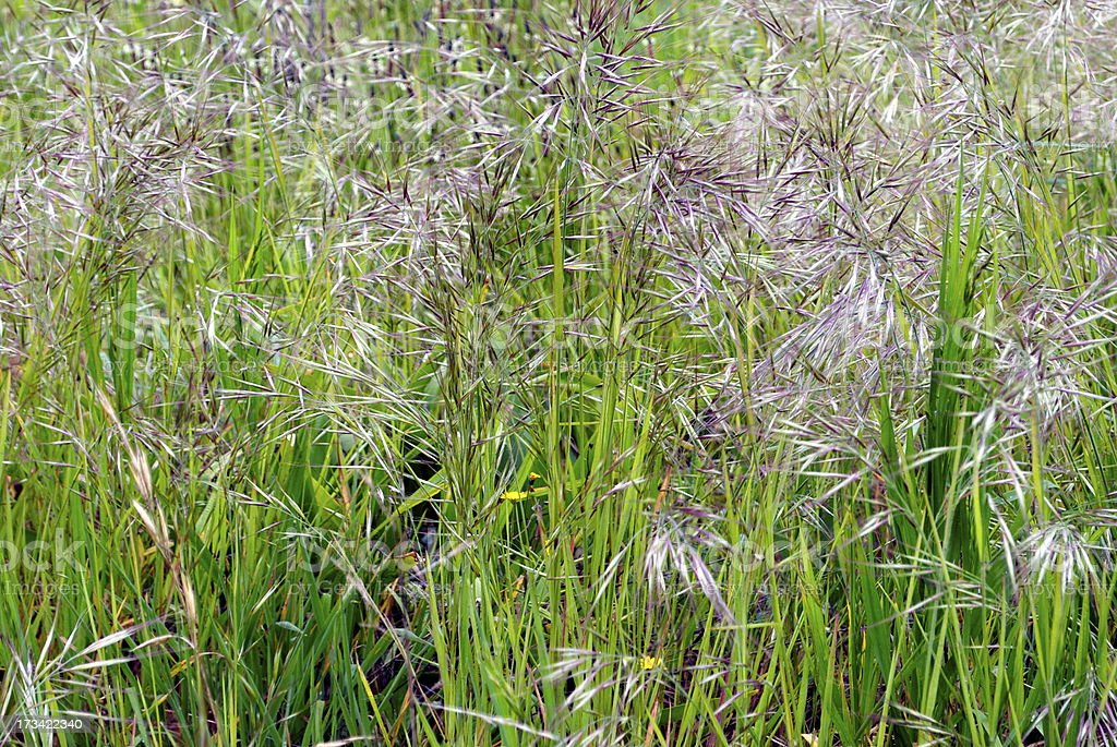 Wild Grass in Seed royalty-free stock photo