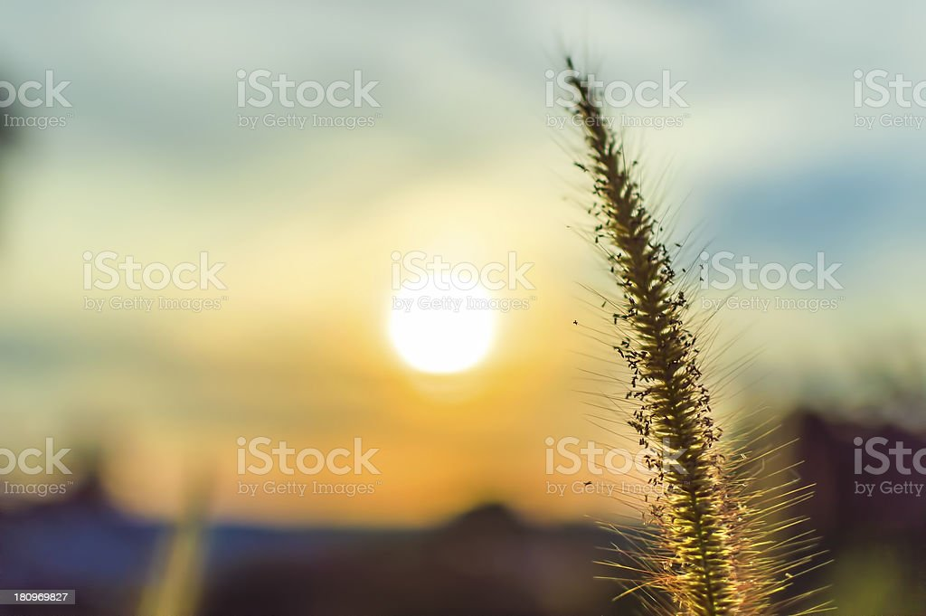 Wild grass isolated royalty-free stock photo