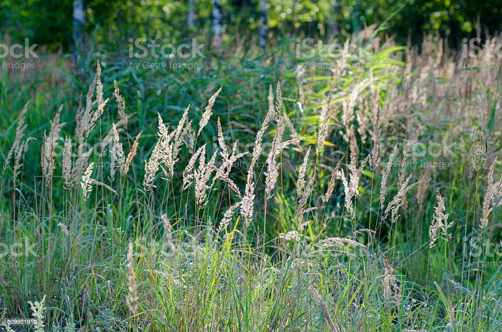 Wild grass on a blurred background in evening sunset light stock photo