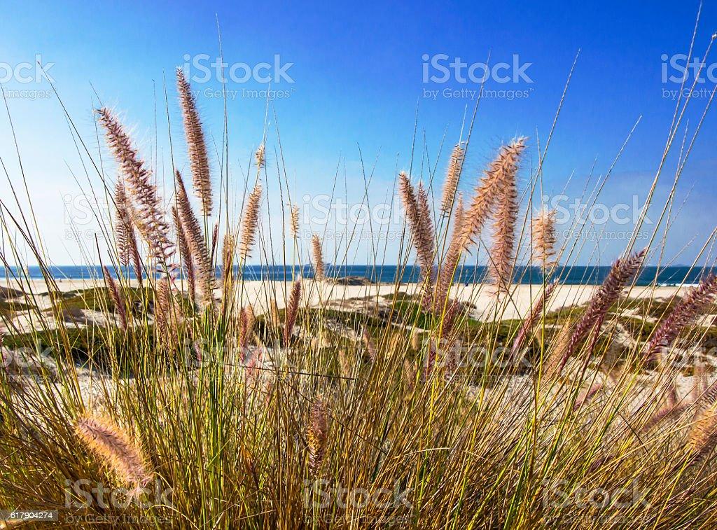Wild grass on the beach stock photo