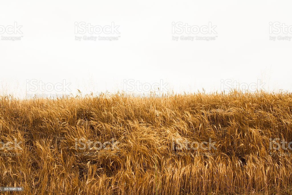 Wild Grass with Copy Space stock photo