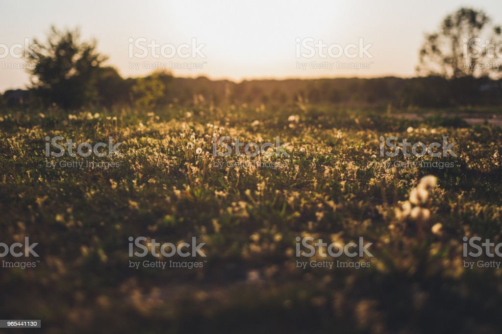 Wild grasses against bright sunlight in summer royalty-free stock photo