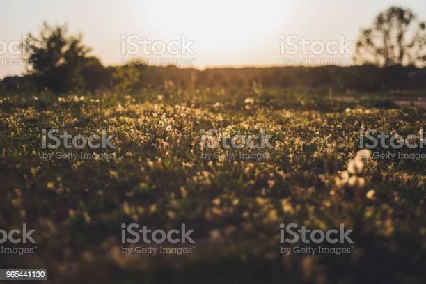 Foto de Gramíneas Selvagens Contra Luz Solar No Verão e mais fotos de stock de Alemanha
