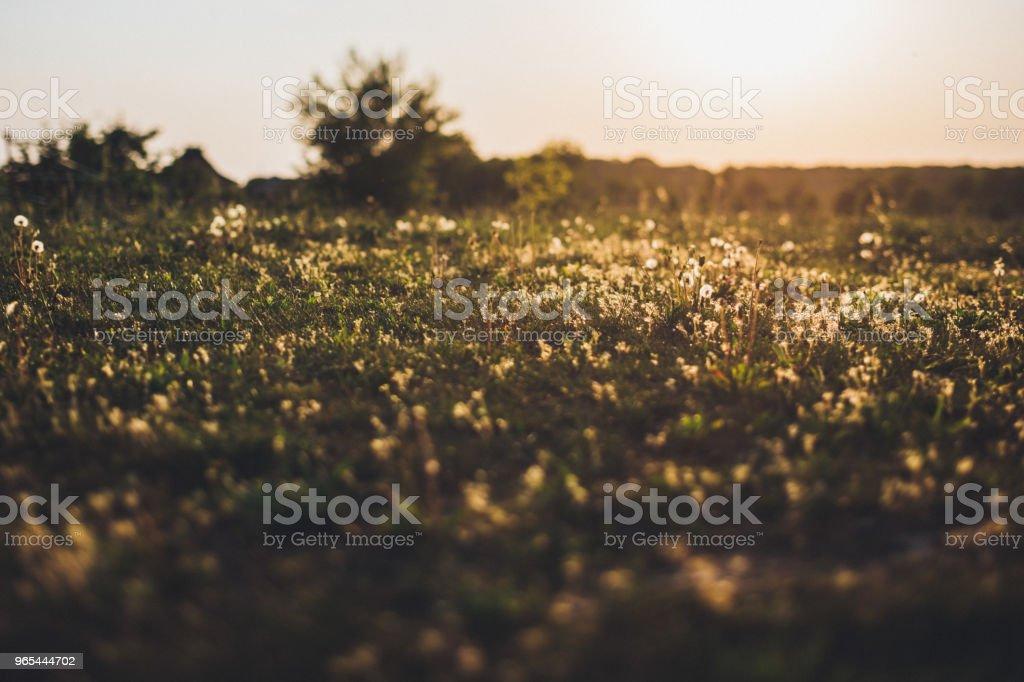 Wild grasses against bright sunlight in summer zbiór zdjęć royalty-free