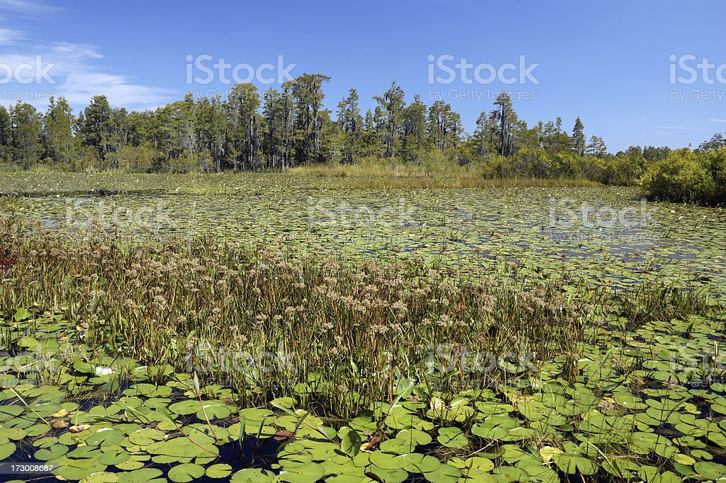 Wild Grasses and Lily Pads Okefenokee Swamp stock photo