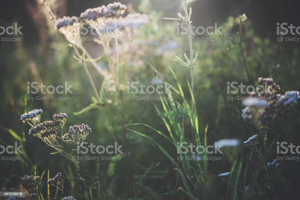 Wild grasses and yarrow on summer day stock photo
