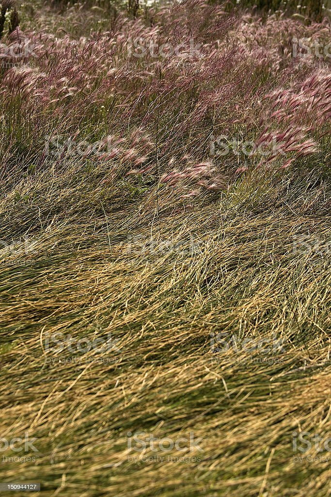 Wild grasses in patagonic steppe. royalty-free stock photo