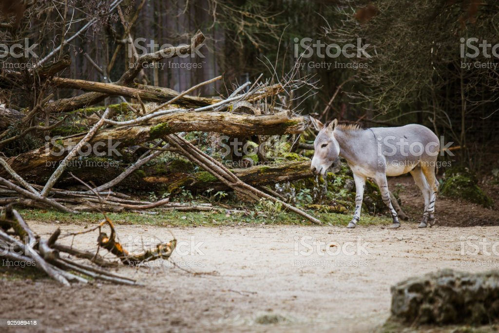 wild gray donkey with white stripes walks, moves among trees, on its territory stock photo