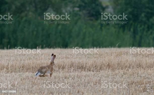 Wild gray hare running on field after harvest picture id640156686?b=1&k=6&m=640156686&s=612x612&h=cgivctq1hmsj5zezy8msllo9rstippxd6nku8m9yrfo=