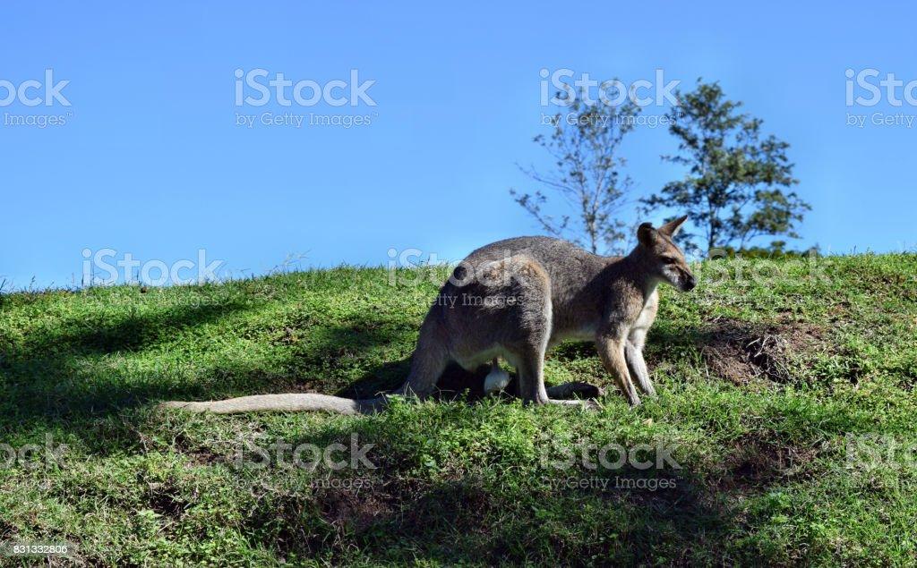 Wild gray kangaroo stock photo