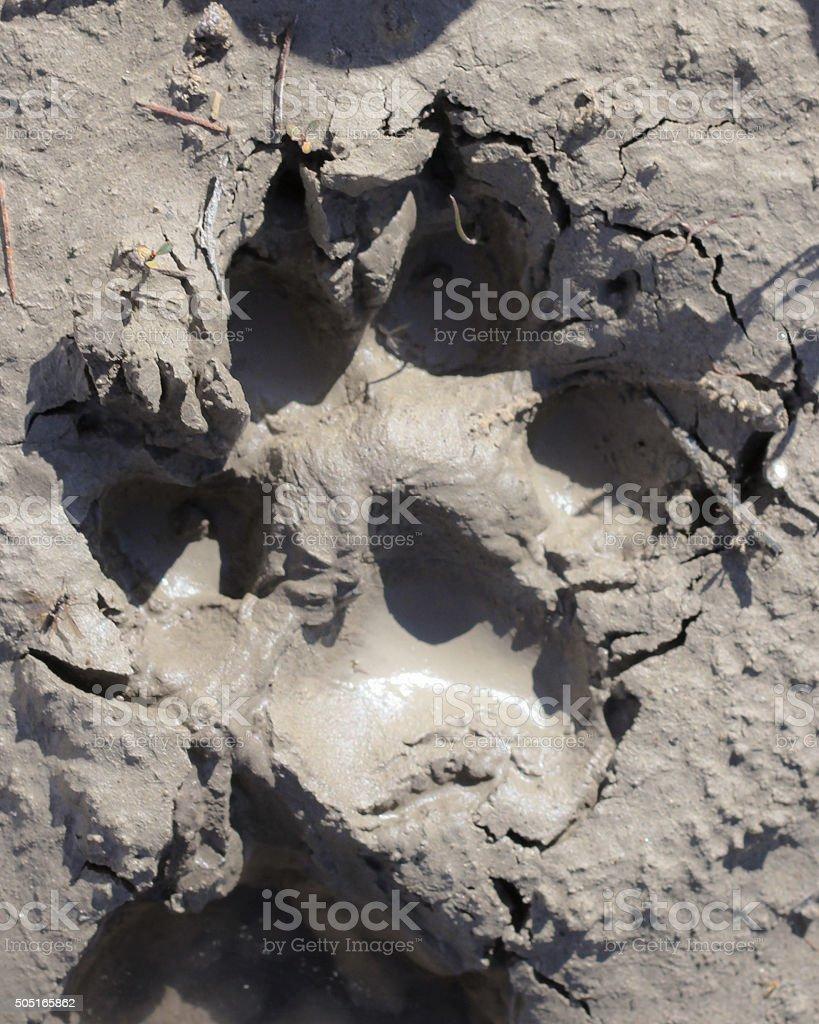 Wild Gray Wolf Track stock photo