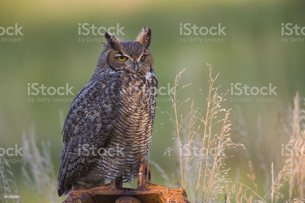 Wild Great Horned owl stock photo