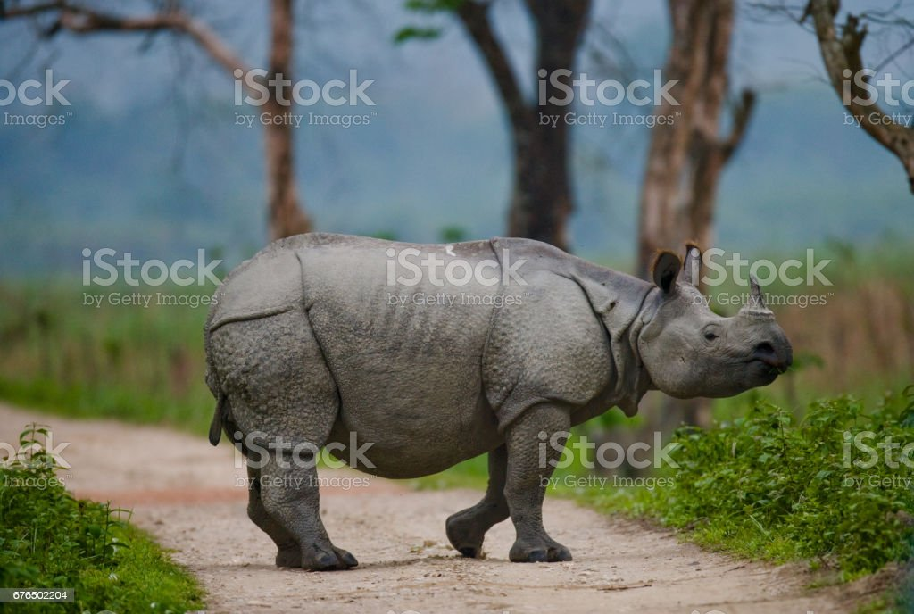 Wild Great one-horned rhinoceros is standing on the road in India. stock photo