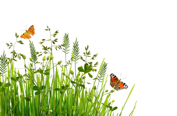 wild green grass and butterflies - grass isolated foto e immagini stock