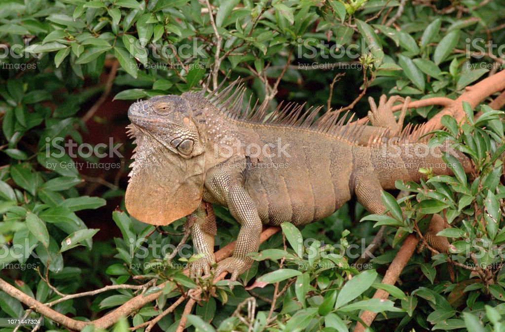 Wild green iguana displays dewlap forest tree canopy La Selva Biological Station Costa Rica stock photo