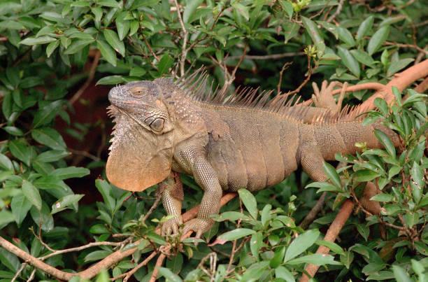 wild green iguana displays dewlap forest tree canopy la selva biological station costa rica - comportamento animal imagens e fotografias de stock