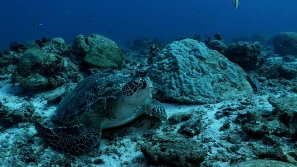 Wild Green Sea Turtle at reef floor in Maldives stock photo