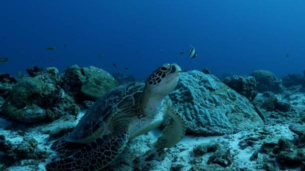 Wild Green Sea Turtle at undersea coral reef in Maldives stock photo