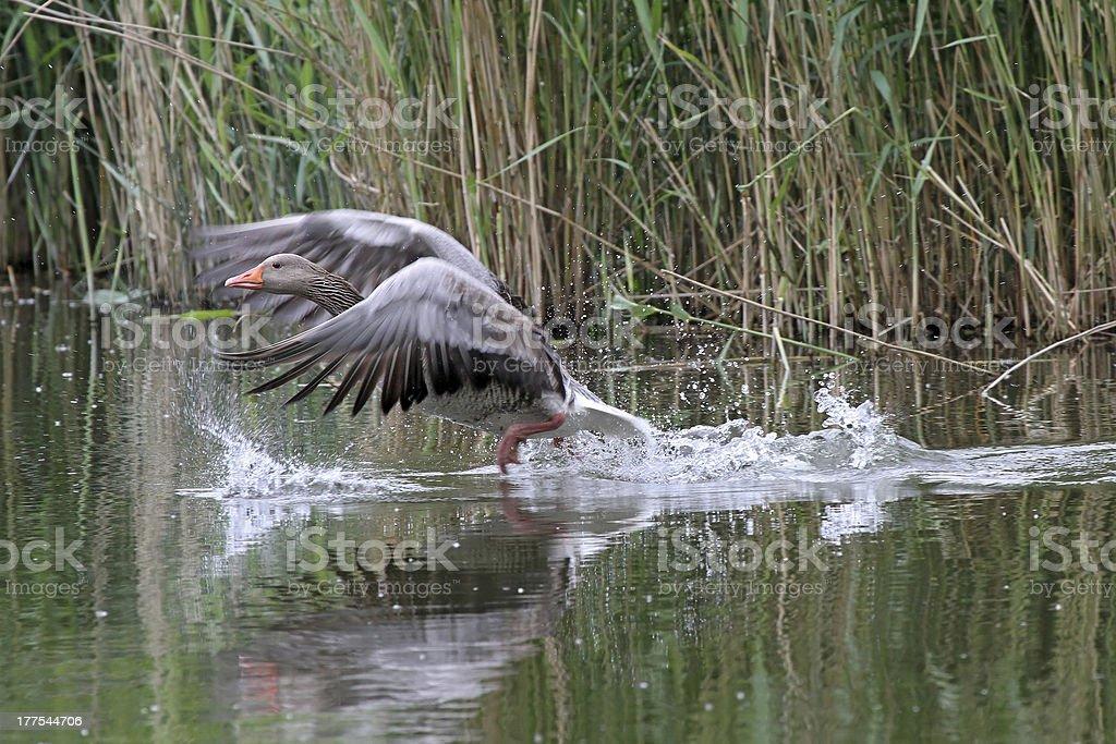 wild grey goose royalty-free stock photo