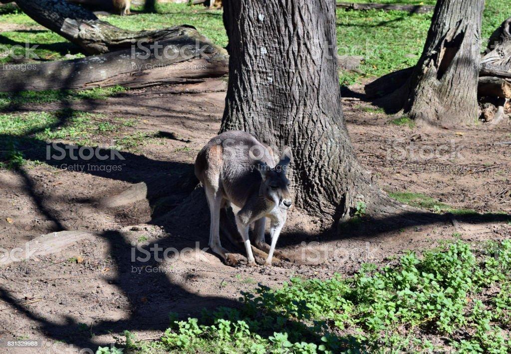 Wild grey kangaroo standing stock photo
