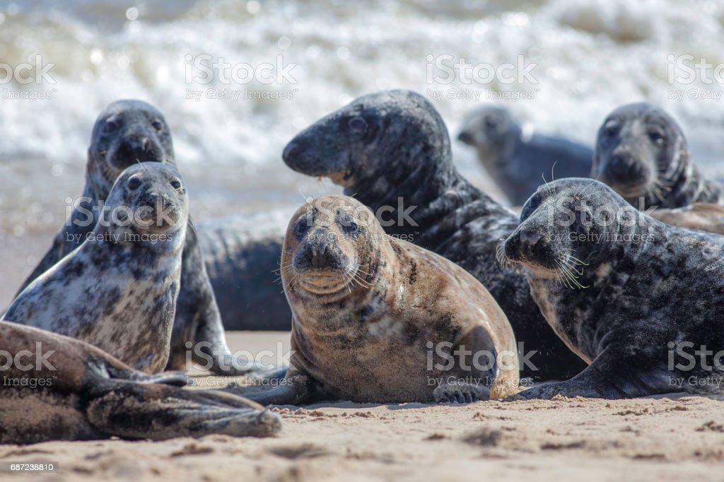 Wild Grey seal colony on the beach at Horsey UK stock photo