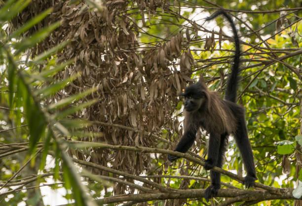 Wild Grey-Cheeked Mangabey Monkey in Uganda's Kibale National Park stock photo