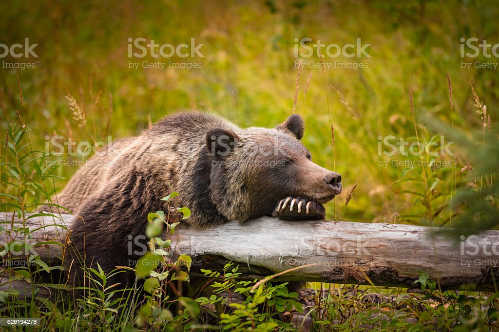 Wild Grizzly Bear - foto de stock
