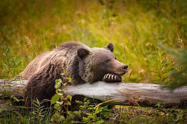 Wild Grizzly Bear​​​ foto