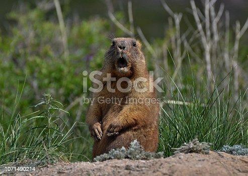 The curious groundhog left hibernation.