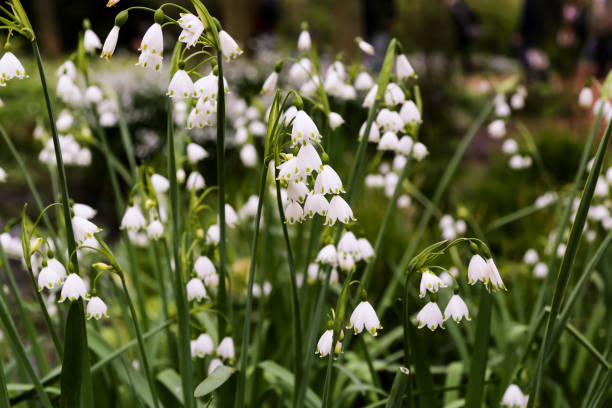 wild growing Leucojum in a field - small delicate white flowers with green dots on the bottom of each petal stock photo