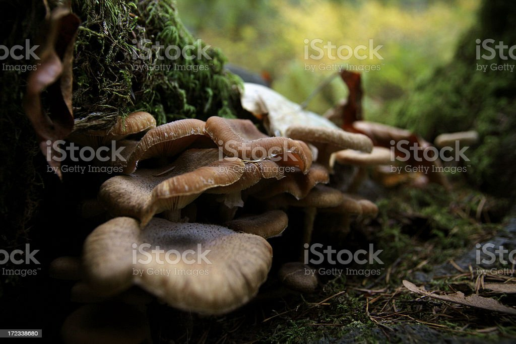 Wild Growing Mushrooms royalty-free stock photo
