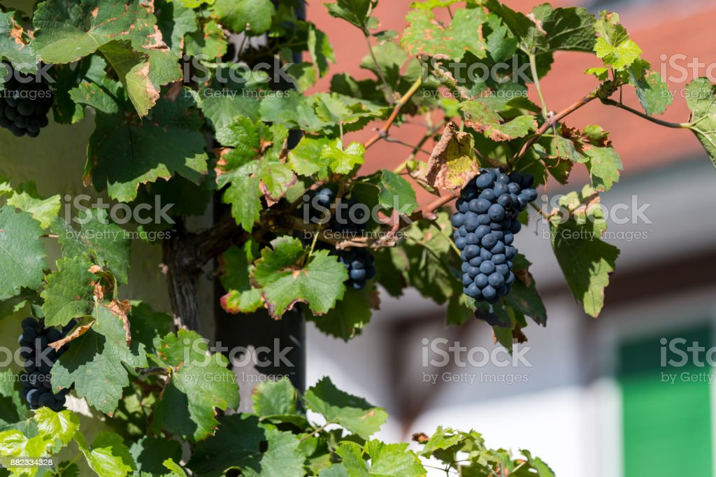 Wild growing wine plants with blurry background stock photo