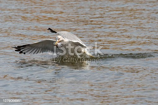 A wild gull catching fish in the Snake River in Grand Teton National Park (Wyoming).