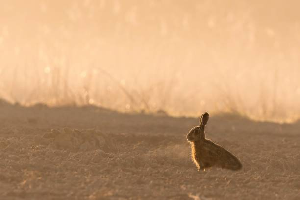 Wild hare in morning backlight on field with fog stock photo