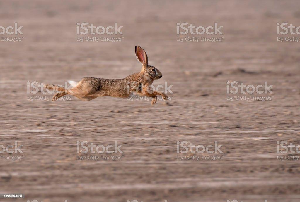 개척시대의 토끼류 - 로열티 프리 0명 스톡 사진