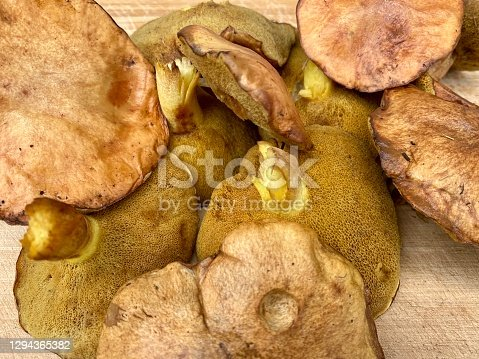 High angle closeup view of a pile of fresh local wild harvested Boletus Edulis or Slippery Jack mushrooms on a wooden board