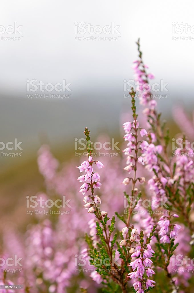 Wild Heather in Highland Scotland stock photo