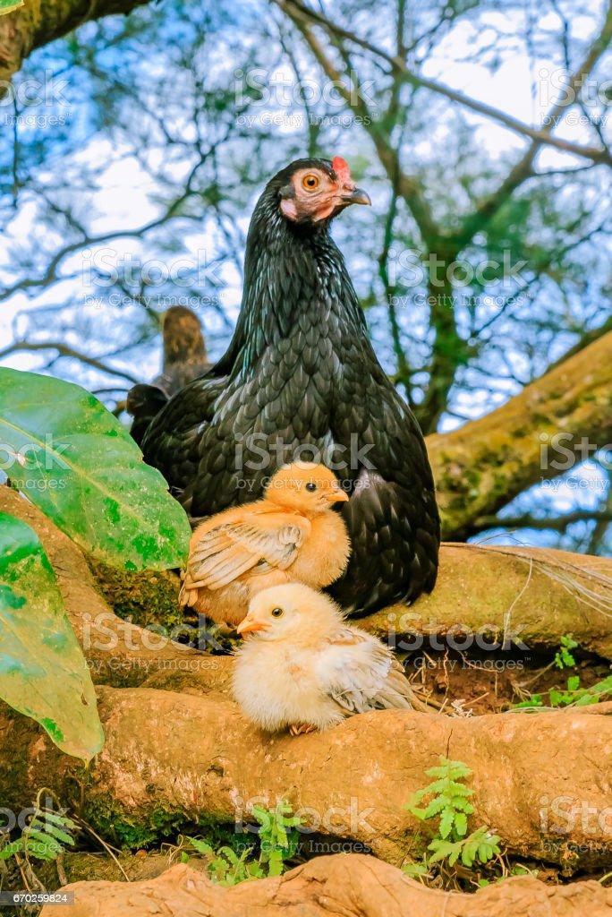 Wild hen with chicks in Honolulu Hawaii stock photo