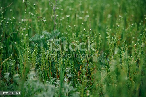 Wild herbal green grass in the meadow
