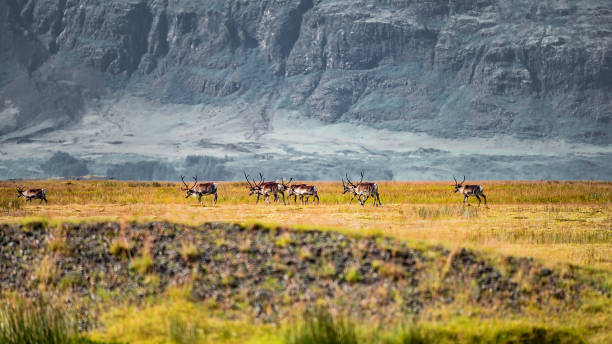 Wilde Herde von Rentieren wandert auf Süd-Island – Foto