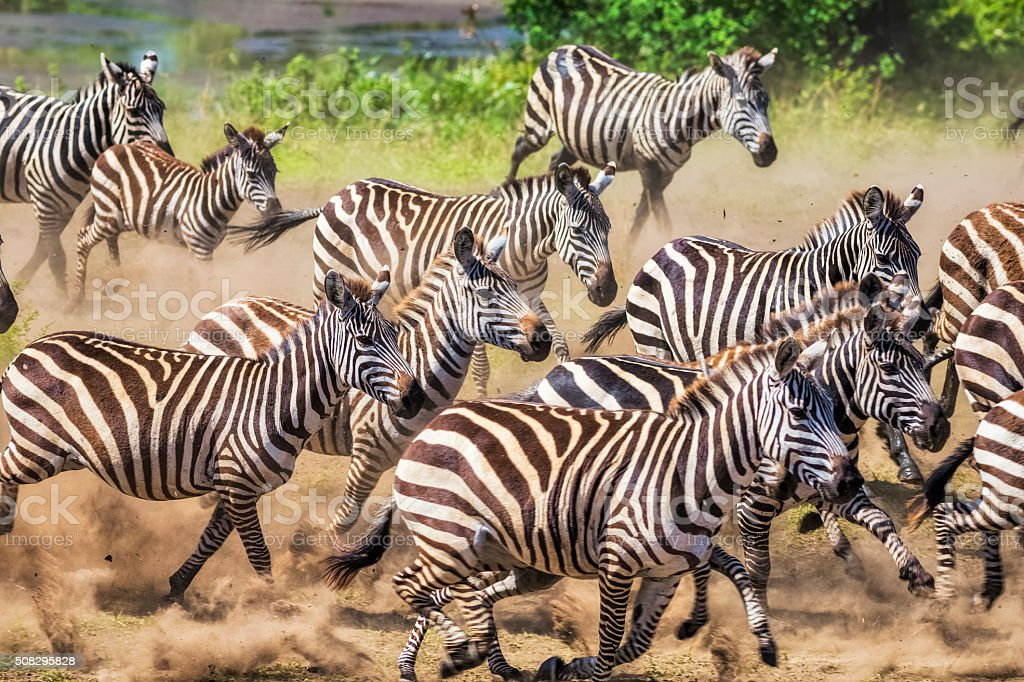 Wild herd of zebras flees in central Serengeti / Tanzania. stock photo