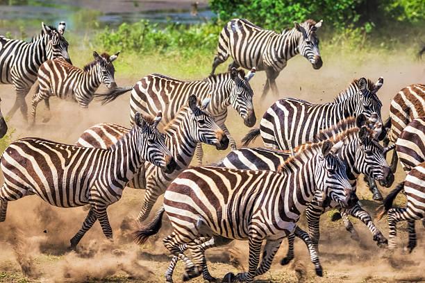wild herd of zebras flees in central serengeti / tanzania. - zebra stock photos and pictures